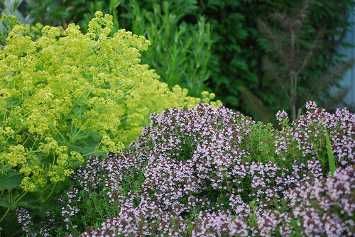 Lady's Mantle and Thyme in flower