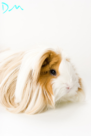 guinea pig photo shoot 06