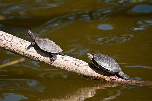 Turtle at Stow Lake