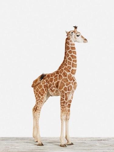 Baby Giraffe No 5 Sharon Montrose