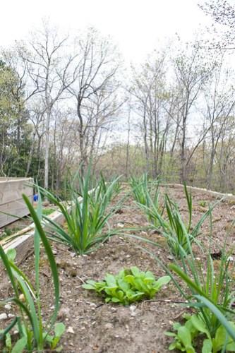 Humble Garden 2009: garlic chives