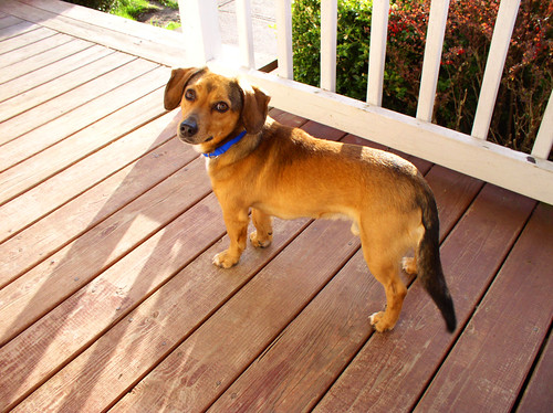 The Doxle is a Dachshund/Beagle cross