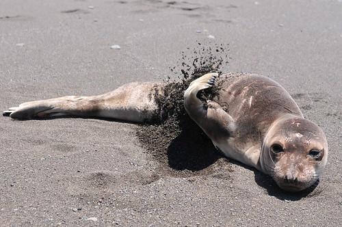 Lost Coast - Curious sea lion