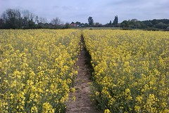 Oilseed field between West Bergholt and Horkesley