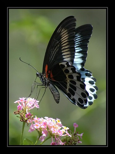 giant butterfly...