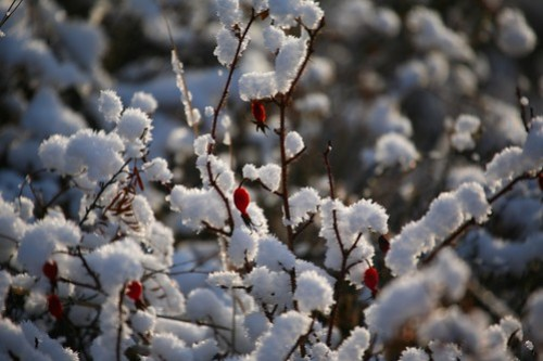 Winter Berries, Mongolia