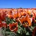 Tulipanes abiertos
