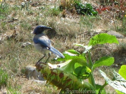 Scrub Jay Eating a Sunflower Seed Head