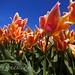 Mira que hay tulipanes