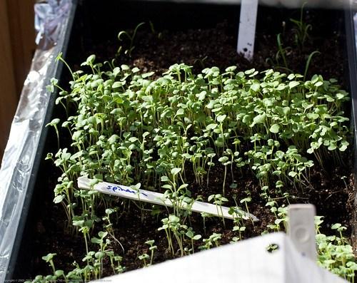Mesclun sprouts