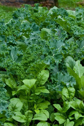 Humble Garden 2009: spinach and kale