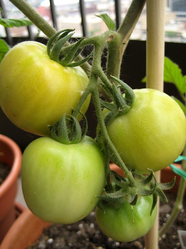 early girl tomatoes - june 21