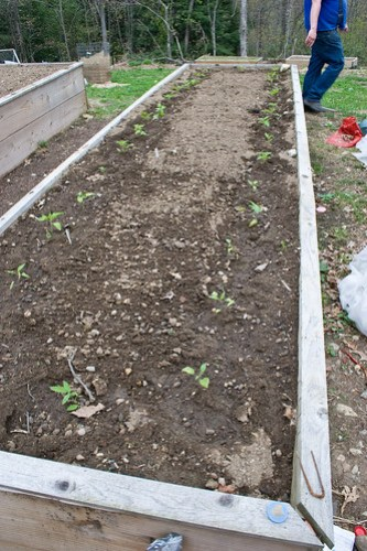Humble Garden 2009: tomato transplant