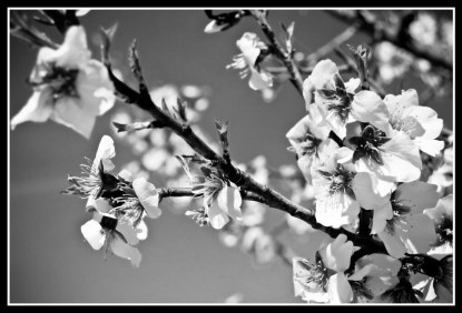Almendro en flor - Life