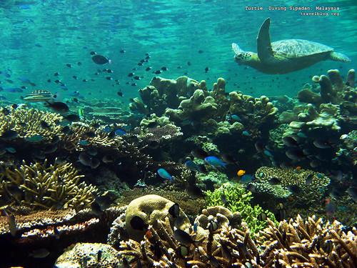 tb_turtle_diving_sipadan_malaysia