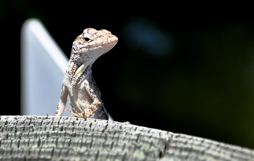 Anole Giving me the Evil Eye, Don Pedro Island Boat Dock, Fla.