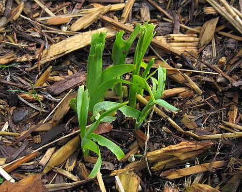 Slug Damage on Daylily