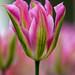 Tulipán Marco