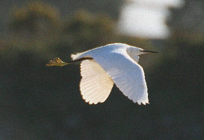 """Little Egret • <a style=""""font-size:0.8em;"""" href=""""http://www.flickr.com/photos/30837261@N07/10723170073/"""" target=""""_blank"""">View on Flickr</a>"""