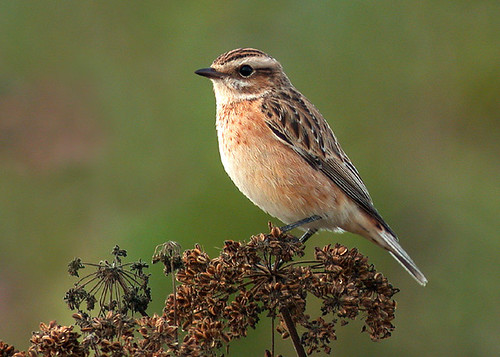 """Whinchat (J H Johns) • <a style=""""font-size:0.8em;"""" href=""""http://www.flickr.com/photos/30837261@N07/10723338784/"""" target=""""_blank"""">View on Flickr</a>"""
