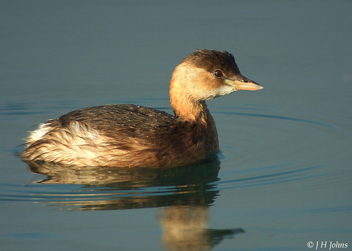 "Little Grebe (J H Johns) • <a style=""font-size:0.8em;"" href=""http://www.flickr.com/photos/30837261@N07/10722977324/"" target=""_blank"">View on Flickr</a>"