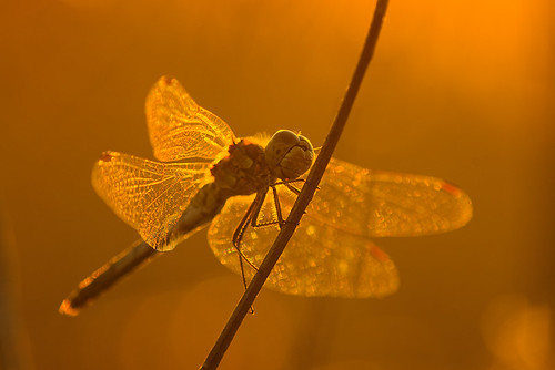 "Dragonfly in the golden light • <a style=""font-size:0.8em;"" href=""http://www.flickr.com/photos/22289452@N07/9446704868/"" target=""_blank"">View on Flickr</a>"