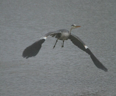 """Grey Heron • <a style=""""font-size:0.8em;"""" href=""""http://www.flickr.com/photos/30837261@N07/10722981484/"""" target=""""_blank"""">View on Flickr</a>"""