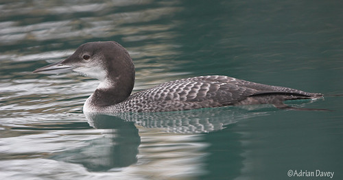 """Great Northern Diver • <a style=""""font-size:0.8em;"""" href=""""http://www.flickr.com/photos/30837261@N07/10722976026/"""" target=""""_blank"""">View on Flickr</a>"""