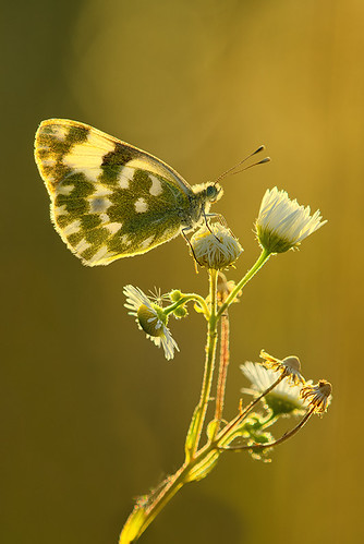 """Bfly in the backlight • <a style=""""font-size:0.8em;"""" href=""""http://www.flickr.com/photos/22289452@N07/9303394768/"""" target=""""_blank"""">View on Flickr</a>"""