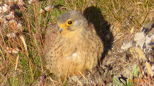 "Kestrel, Penhale, 300614 (A.Dawe) • <a style=""font-size:0.8em;"" href=""http://www.flickr.com/photos/30837261@N07/14601259824/"" target=""_blank"">View on Flickr</a>"