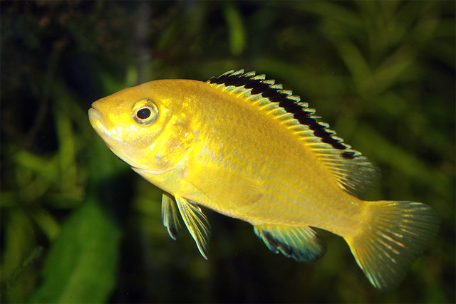 Aquarium Fish   Electric Yellow | Flickr   Photo Sharing!