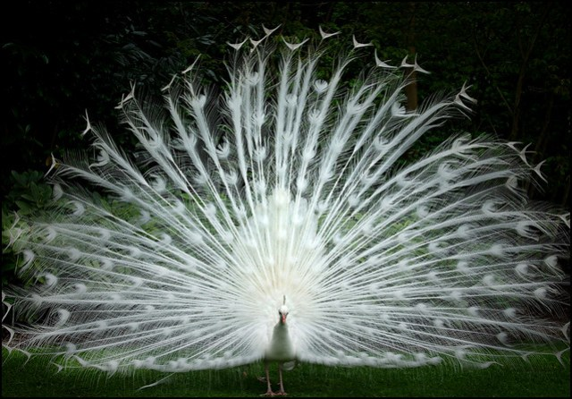 White peacock showing off his plumage