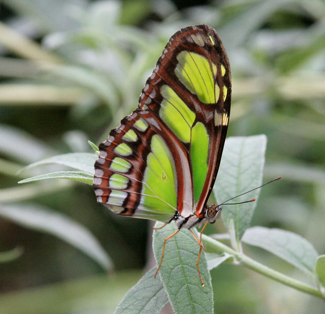 Green Longwing Butterfly