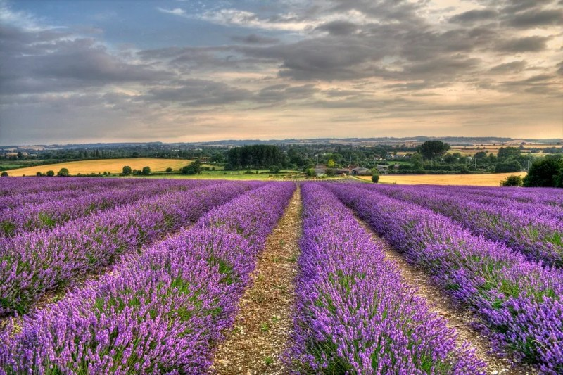 Lavender Fields HDR