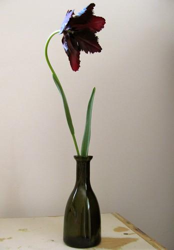 Black Parrot Tulip