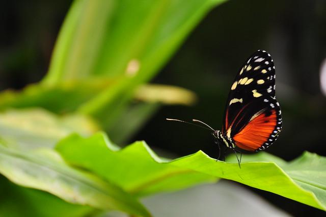 Parisota (heliconius doris butterfly)