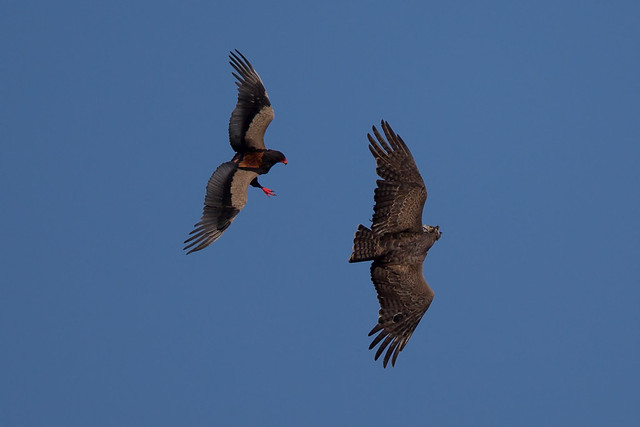 Insane! - Bateleur vs. Martial Eagle (15% of original image)