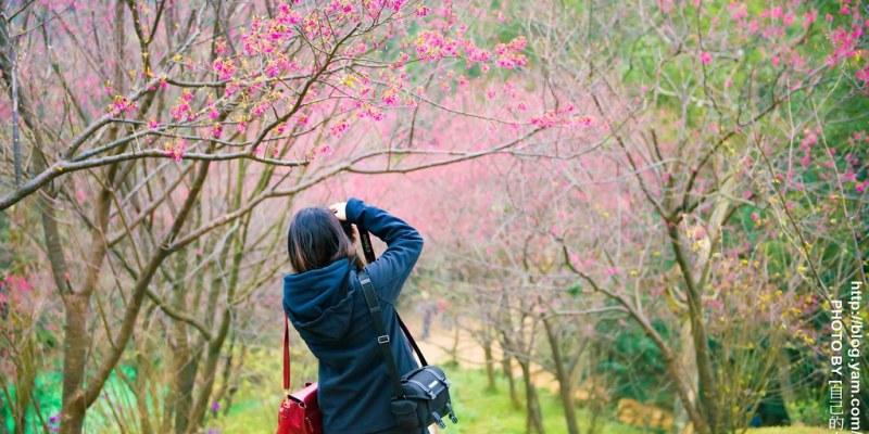 【台北】。櫻花秘境小旅行 土城太極嶺櫻花步道