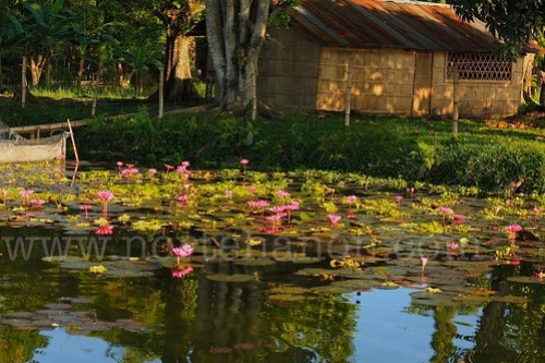 4 Lake Sebu lotuses