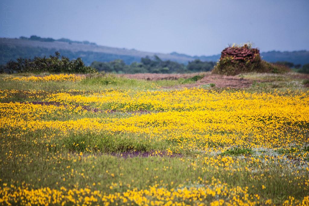 Smithia Hirsuta - Kaas Plateau