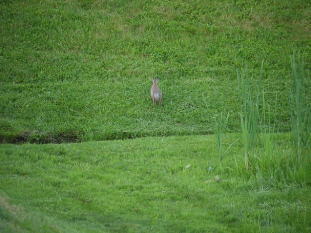 wild rabbit runs away