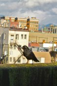 Plump Crows In Chinatown