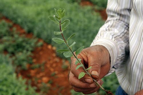 fresh za'atar plant
