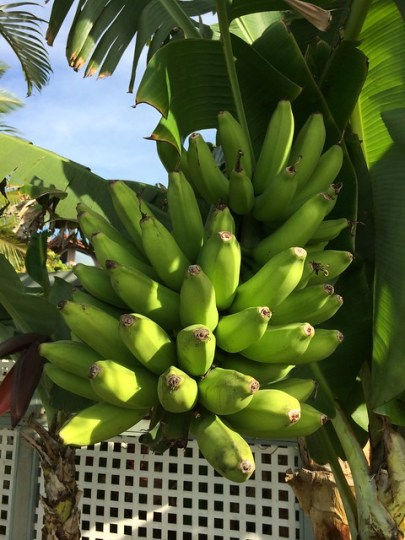 bananas or plantains?