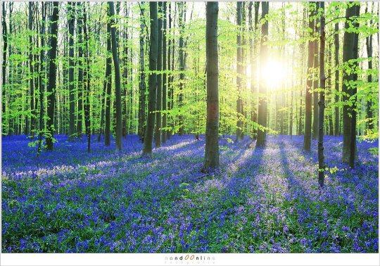 Een bijna klassiek beeld van het Hallerbos: het beukenbos in jong, fris blad in een zee van paars, badend in het licht van de ochtendzon