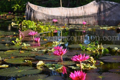 6 Lake Sebu lotuses