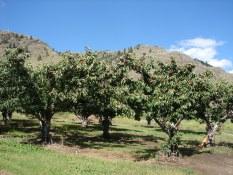 Kim's cherry tree photo