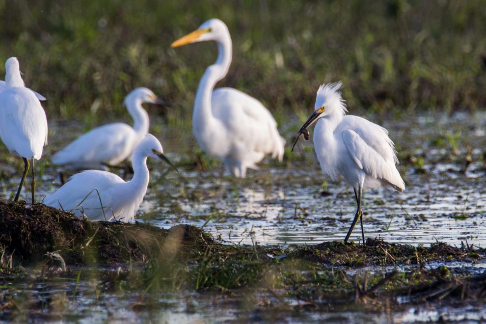 Una garza blanca se alimenta de insectos en una aguada, rodeada de otras garzas, en la cercanía de la Laguna Capitán. (Tetsu Espósito)