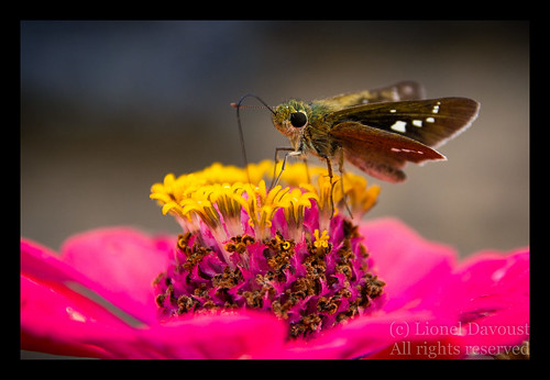 Thirsty butterfly