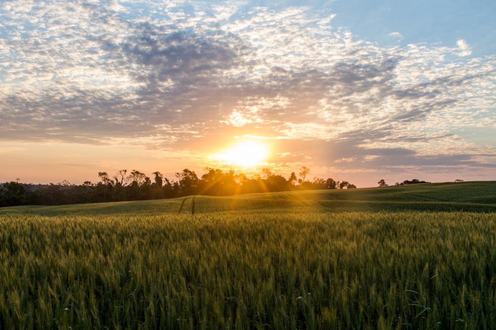 Los ultimos rayos de sol se posan sobre un campo de trigo, en los terrenos que limitan con el Parque Nacional Caazapá (Tetsu Espósito).
